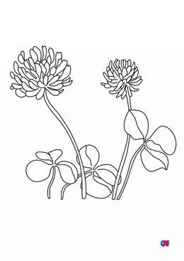 Coloriage de fleurs - Le trèfle
