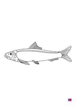 Coloriages d'animaux - Poisson - Sardine