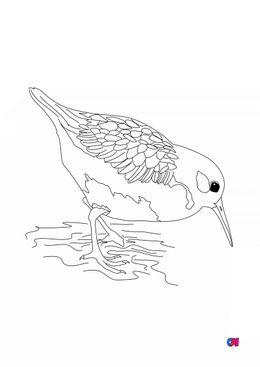 Coloriage d'oiseau - Bécasseau variable